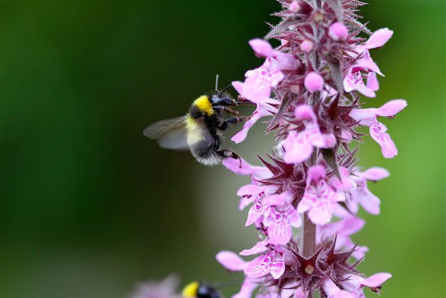 Guzzling Bees and Woundwort flowers