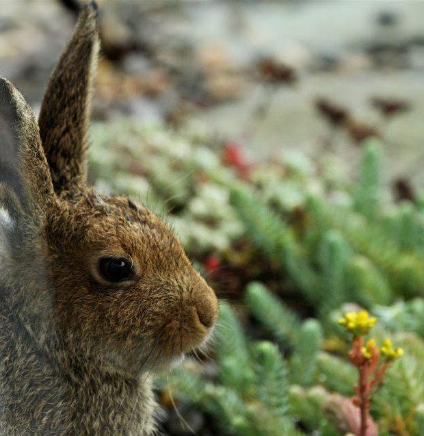 The stillness of a meditating Hare