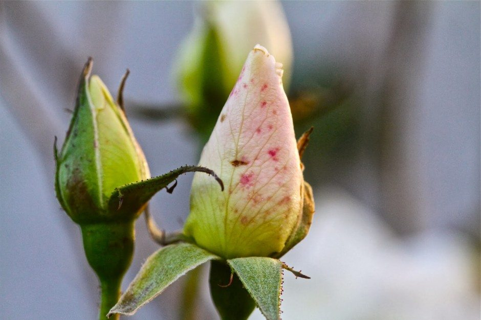 November rhythms and roses