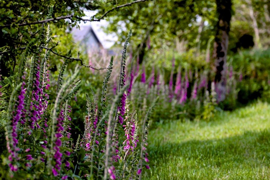 Wild foxgloves on the lane