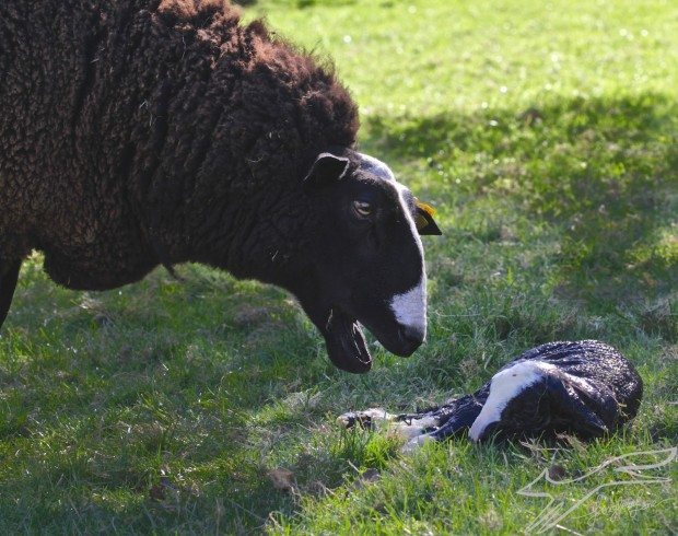 Welcome little Zwartbles lamb!