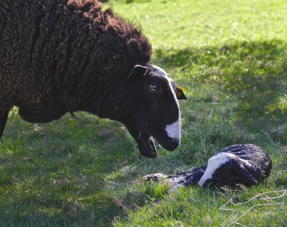 Welcome little Zwartbles lamb!