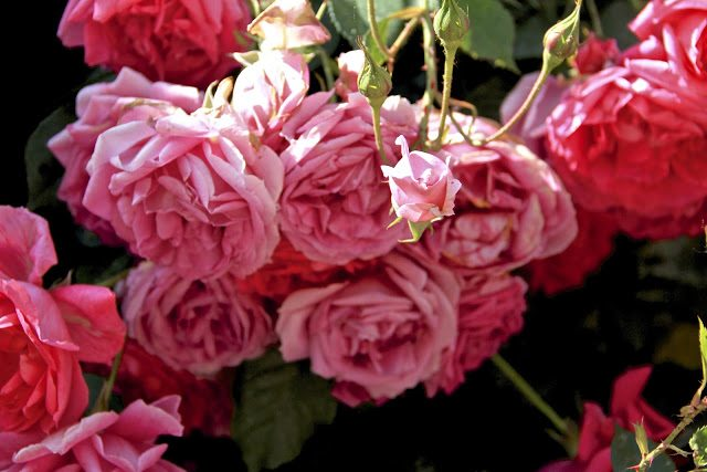 The scent of roses in the Loire Valley