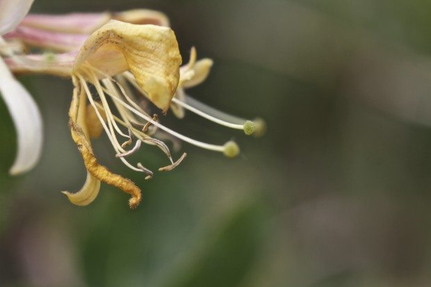 Wild honeysuckle is the thing