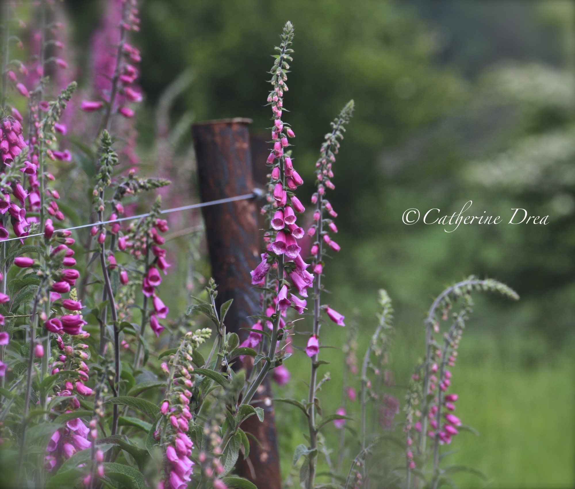 ~Another evening amongst the wild Foxgloves~
