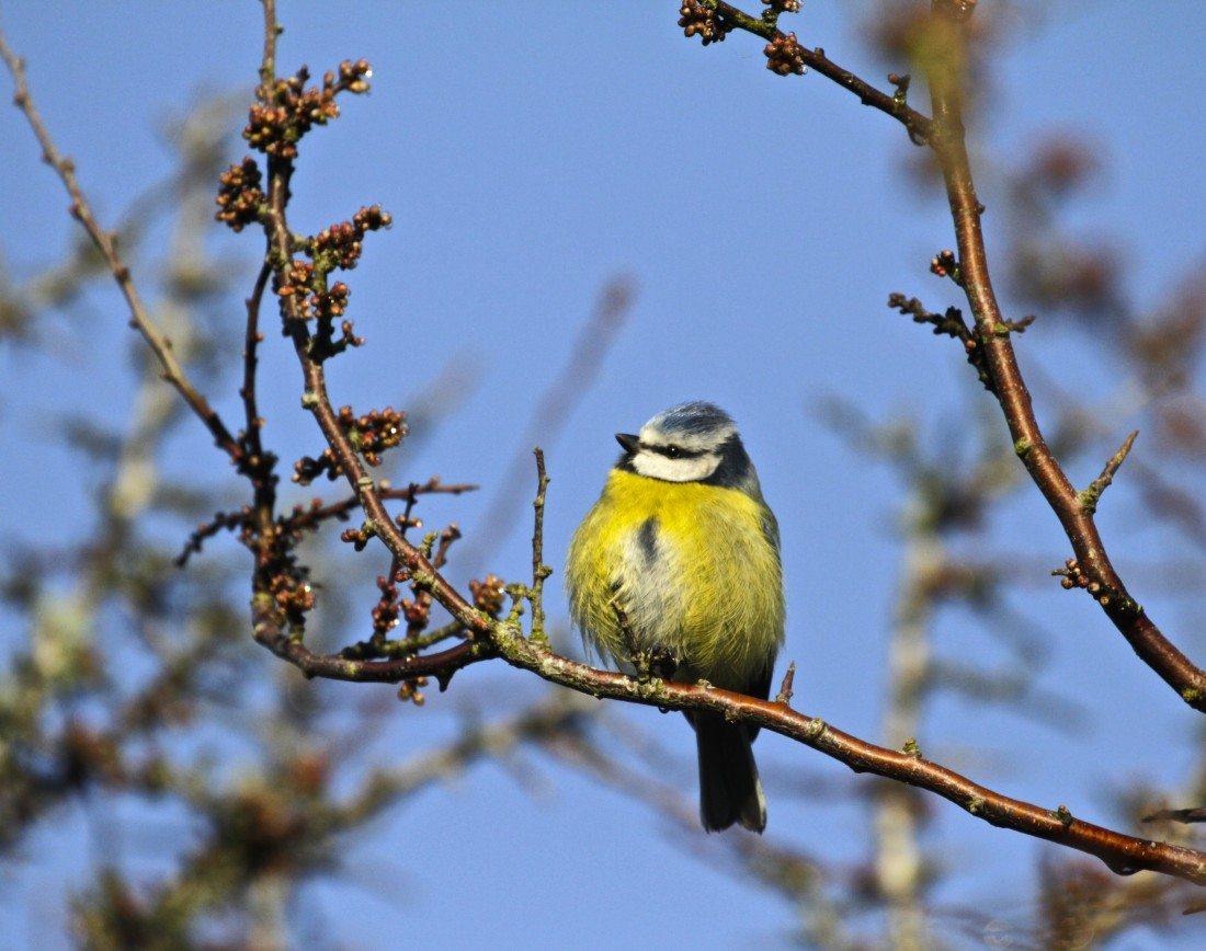 blue-tit-in-spring