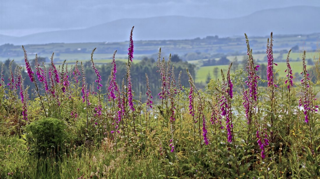 Foxgloves in June