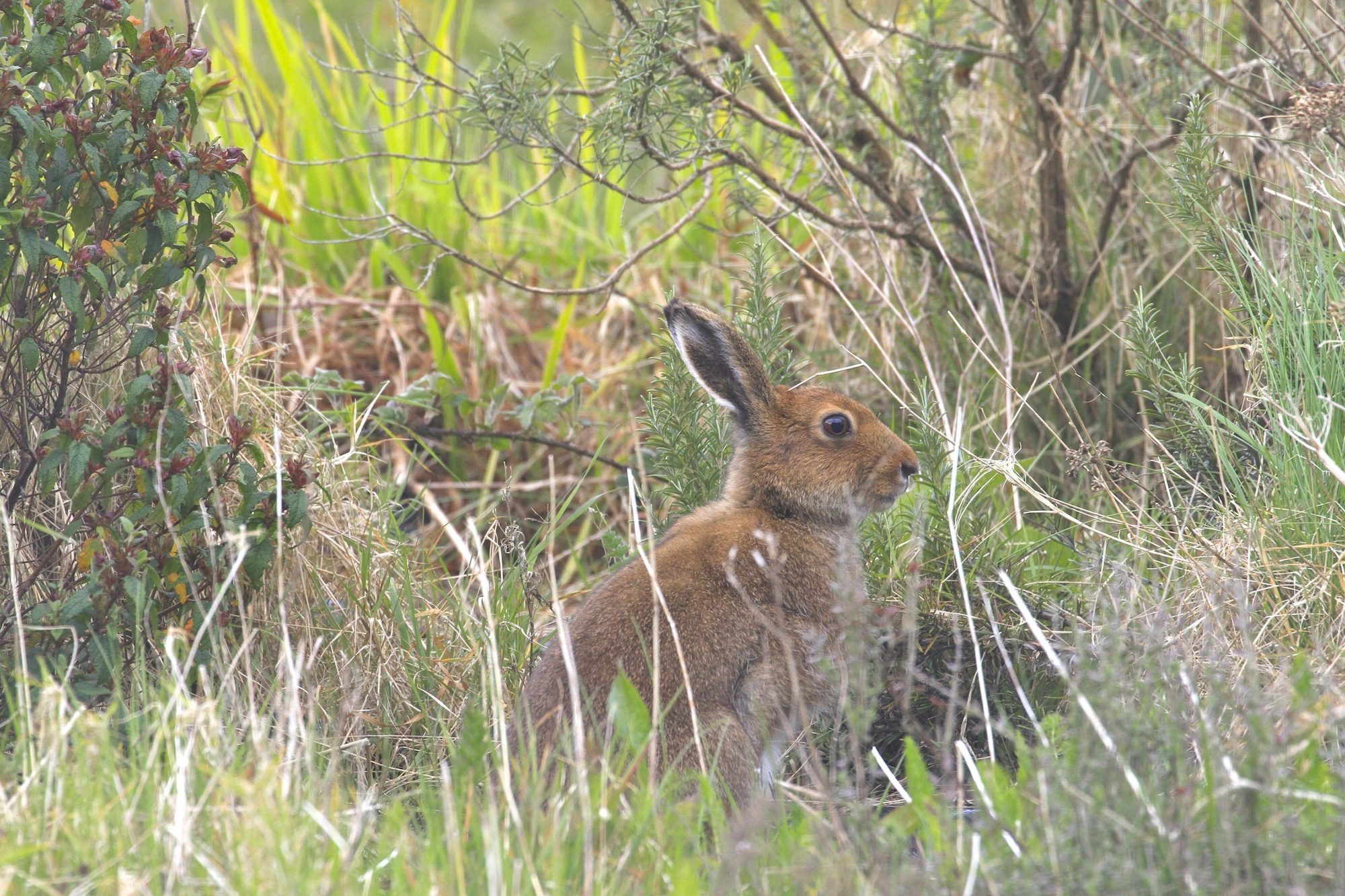 Wild Irish Hare