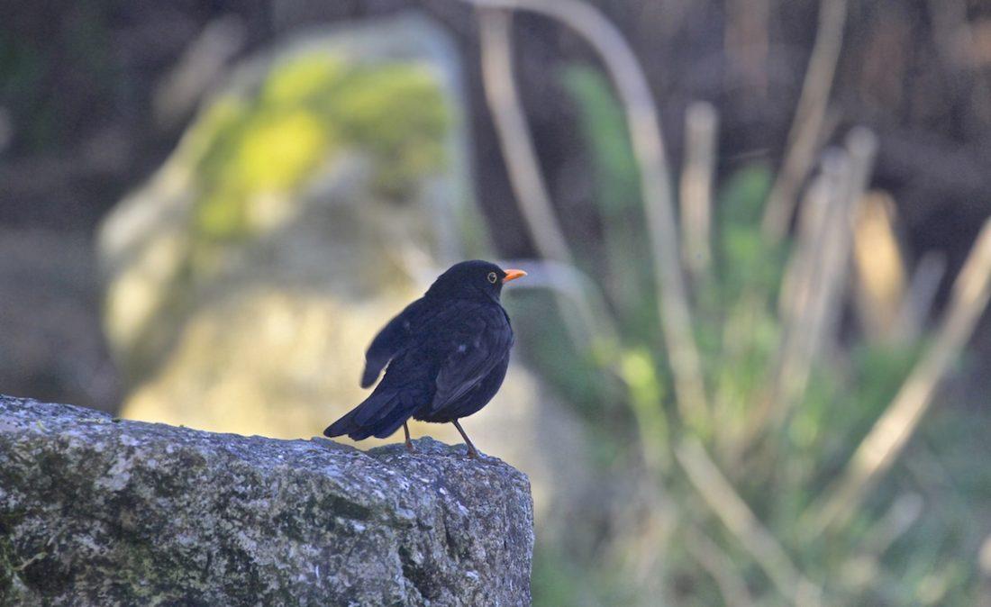 cock-blackbird
