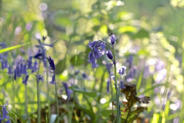 In the bluebells