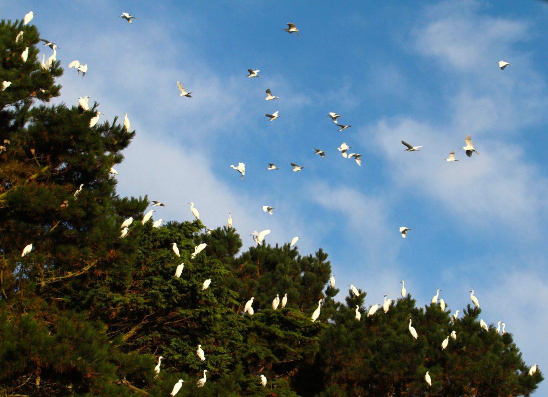 Flock-of-little-egrets