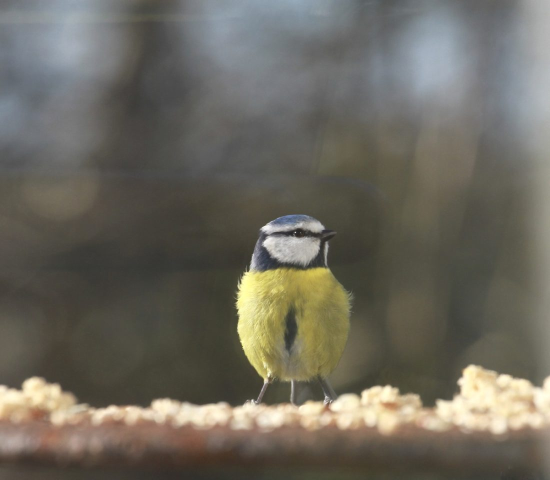 heart-blue-tit