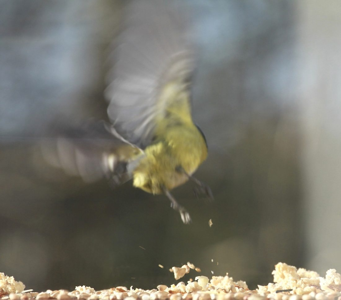 heart-blue-tit-flies-away
