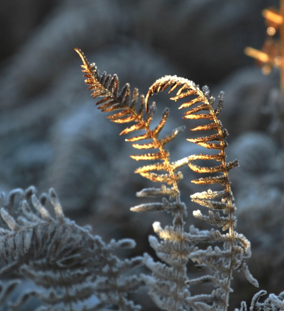 ferns-bokeh-winter
