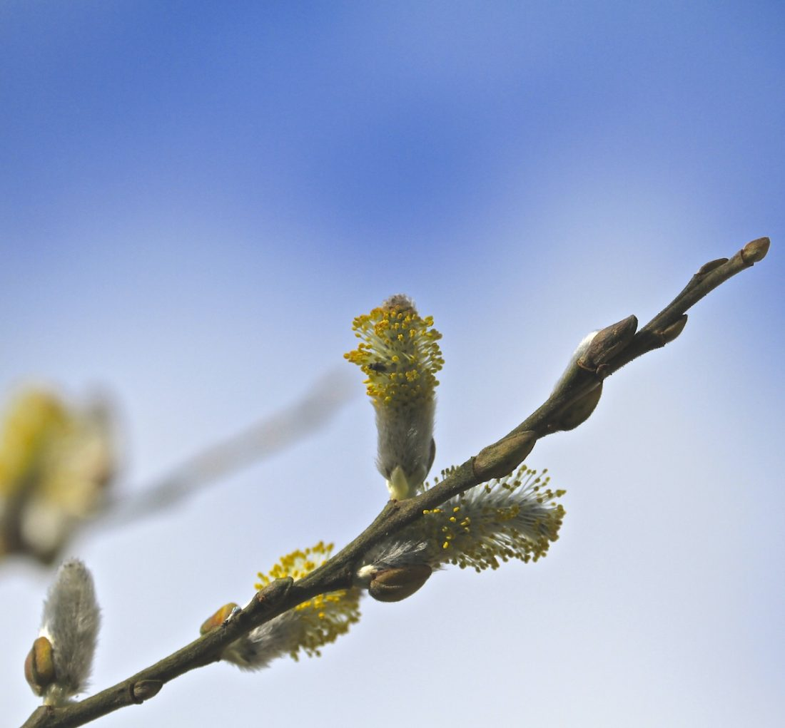 willow-catkin-new-life