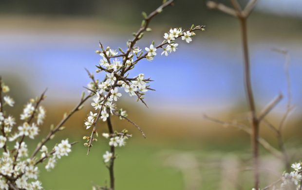 White-blossoms-on-Blackthorn-bush