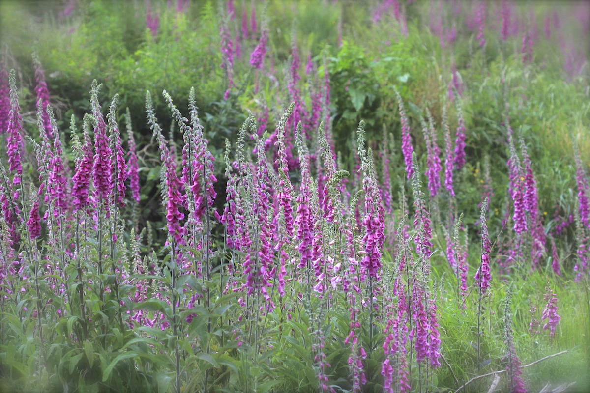 All about Foxgloves