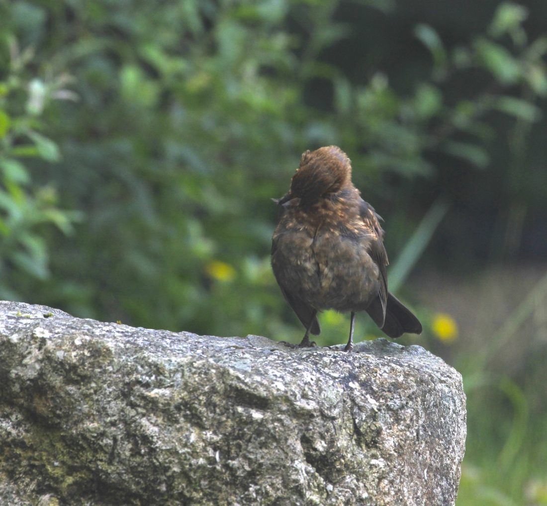scratchy blackbird fledgling