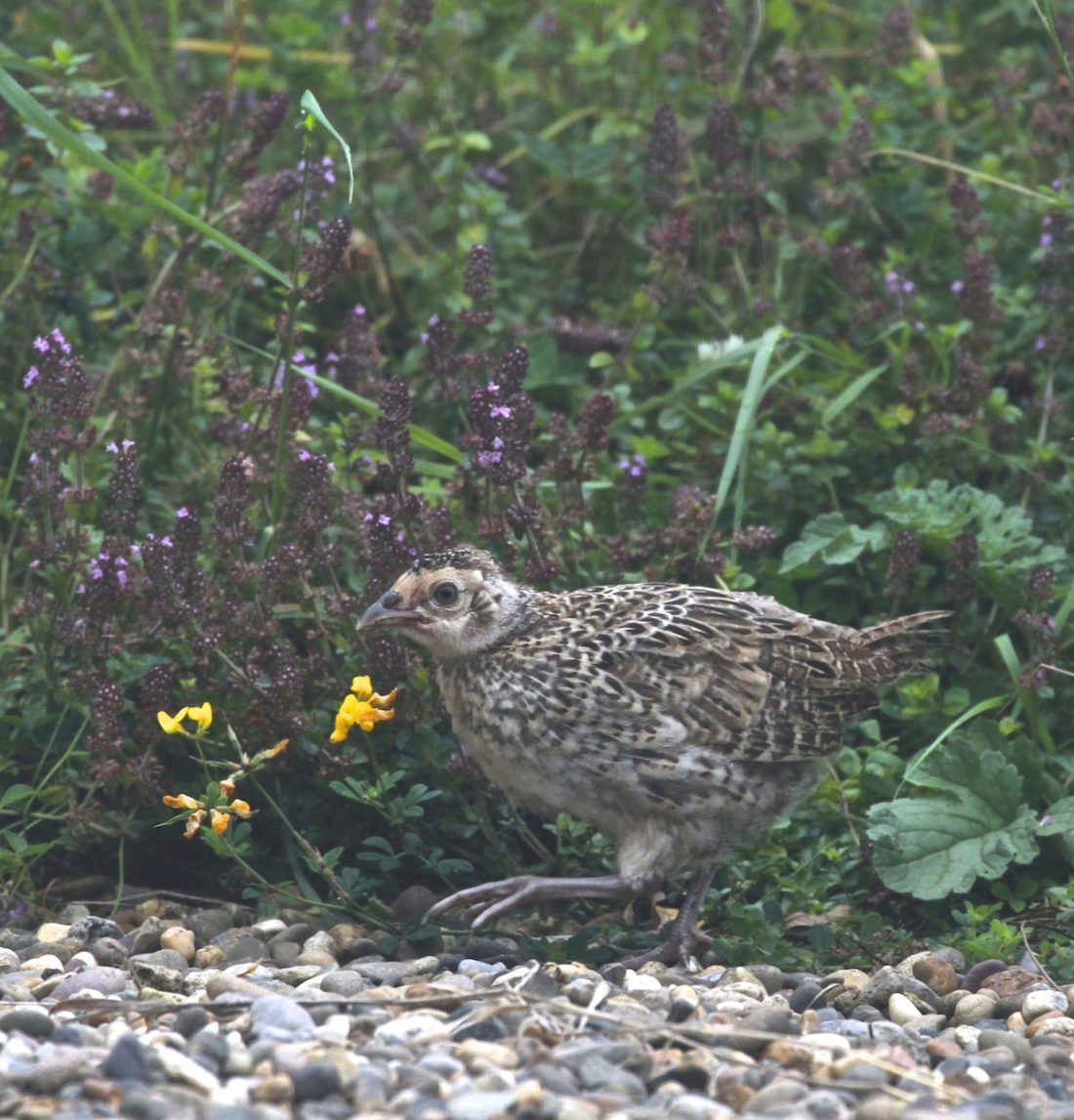 pheasant-chick