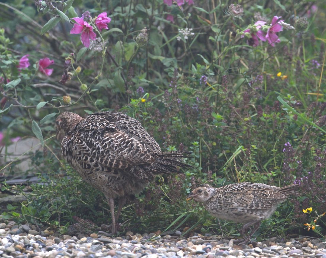 pheasant-mother-and-chick