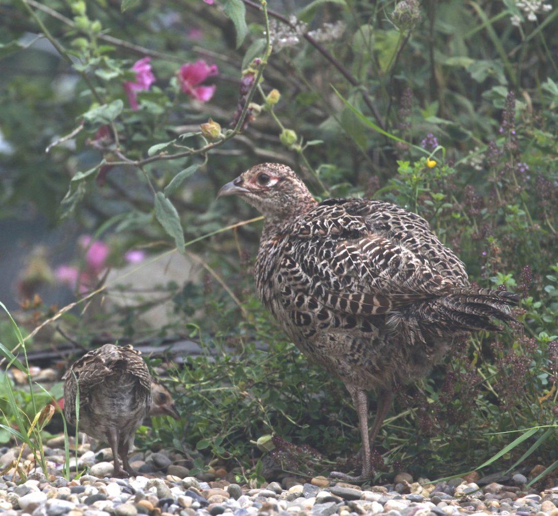 Pheasant-camouflage