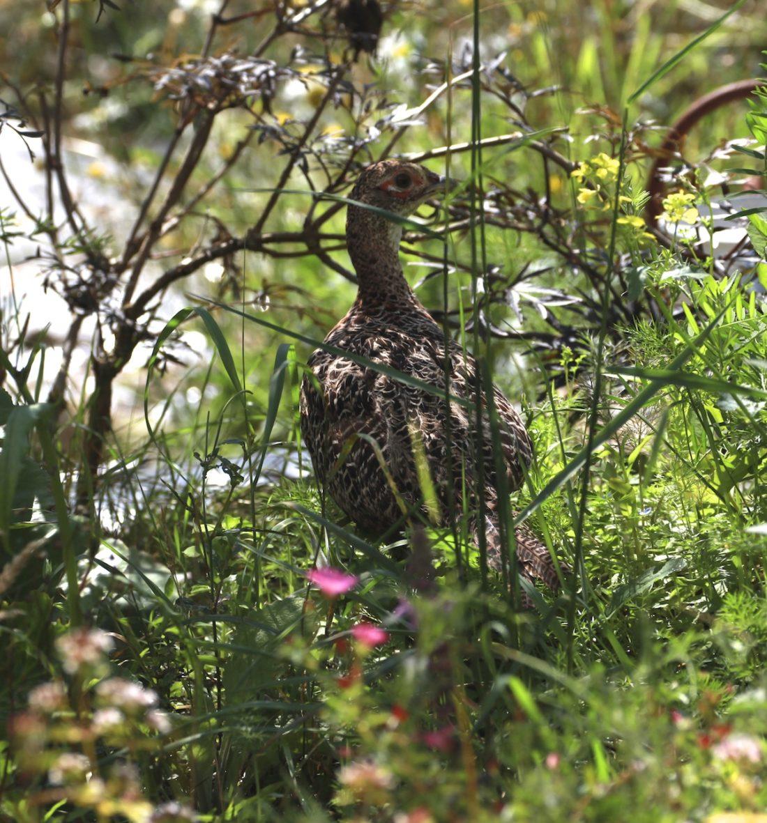 hidden-pheasant