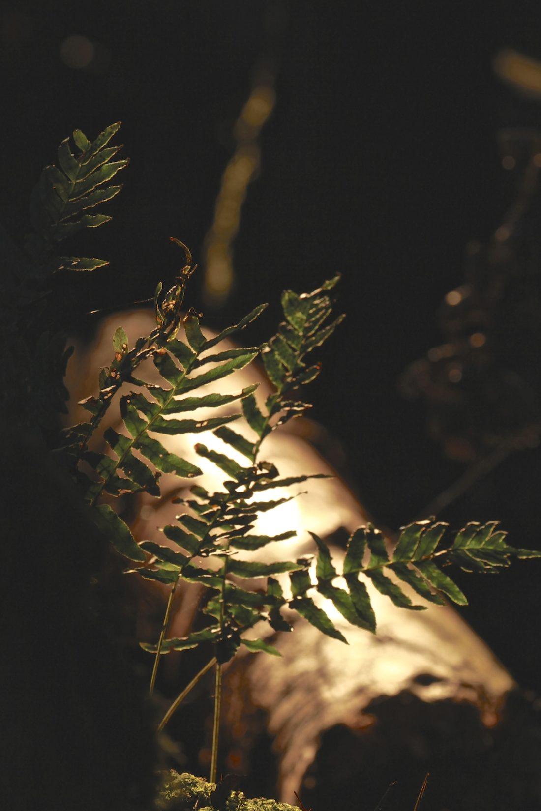 fern-in-the-forest