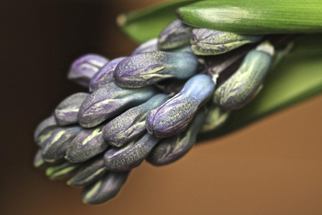 unfurling-hyacinth