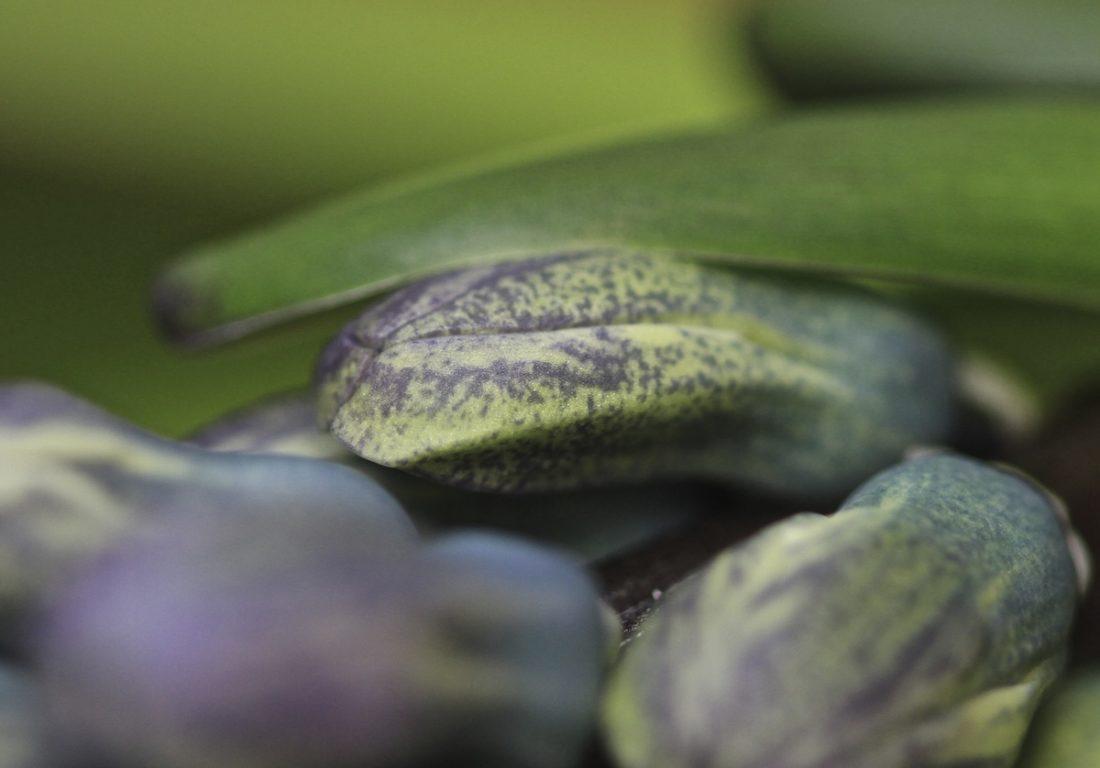 hyacinth-blues