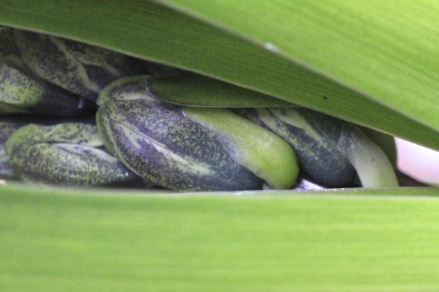 hyacinth-on-the-threshold
