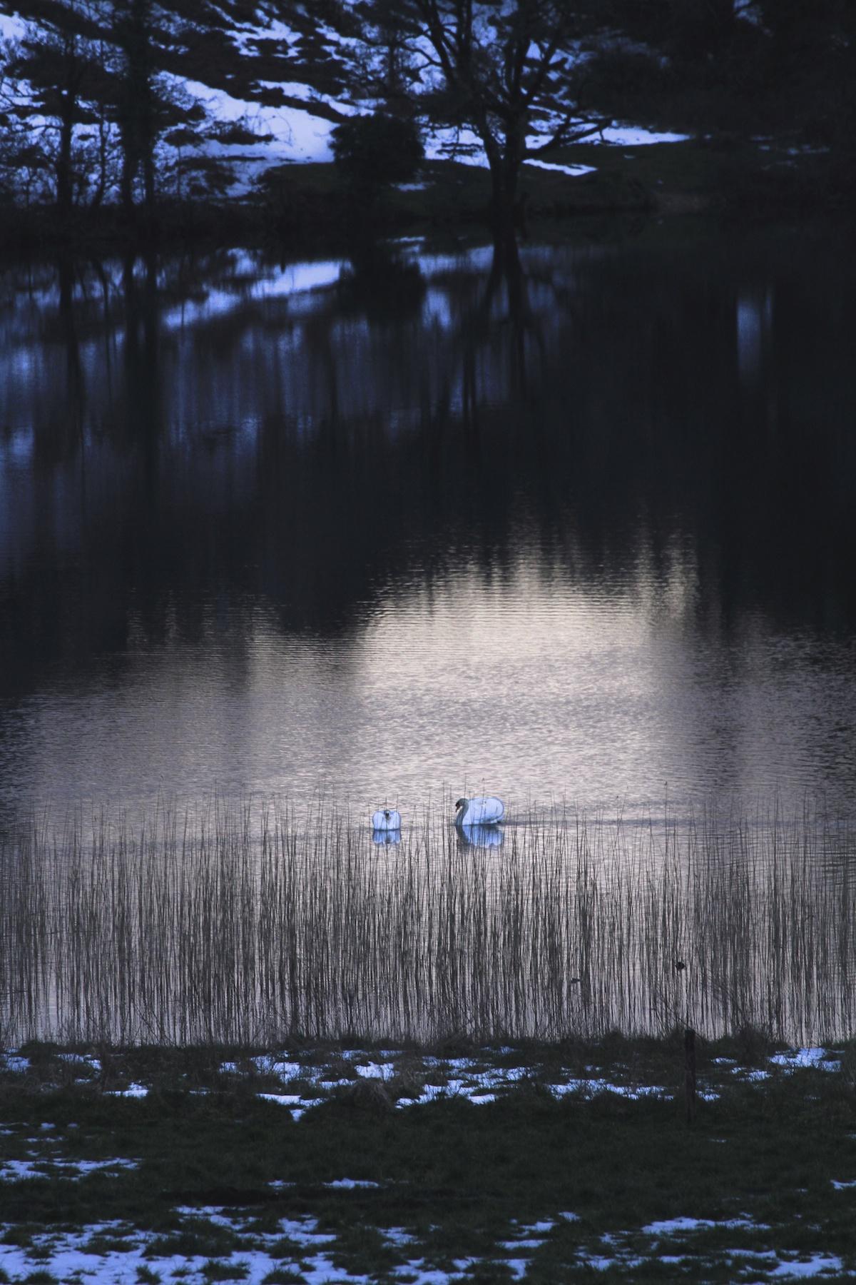 Ballyscanlon-lake-swans