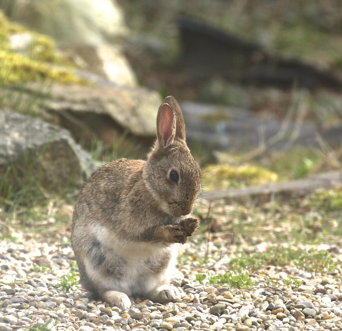 rabbit-paw-washing