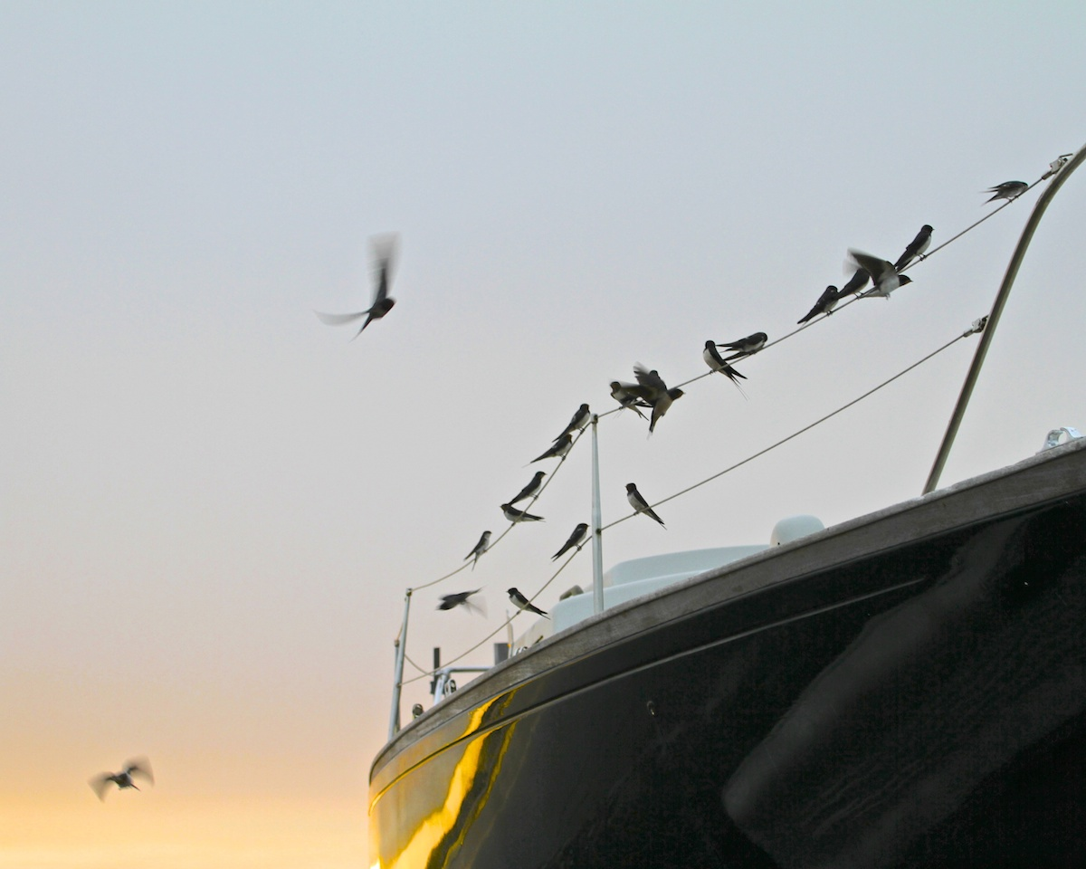 swallows-on-the-pier