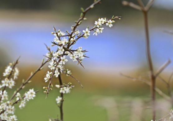 White-blossoms-on-Blackthorn-bush