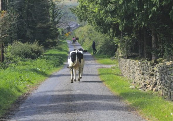 cow-wanders-home-for-milking