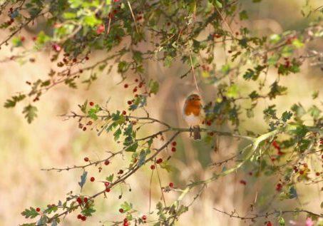 Robin in the hawthorn
